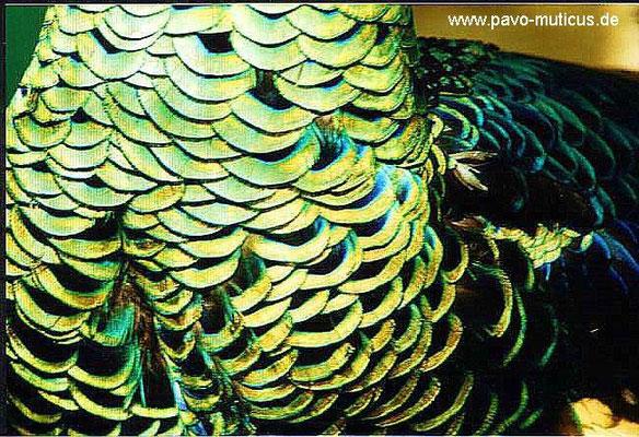 Nahansicht der Brust- und Halsfedern eines Hahnes der malaiischen Unterart.  Die Färbung der Halsfedern ist im sichtbaren Aussenbereich von hellem Grün,  im größtenteils verdeckten Bereich der schuppenförmig übereinander  liegenden Federn dunkel-blaugrün.