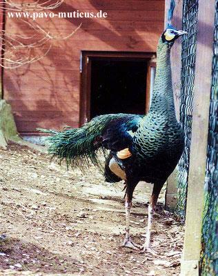 Burma-Ährenträgerhahn von vorne aufgenommen. In der Körpergröße ist dieses Tier der  Imperator Unterart zumindest gleich.