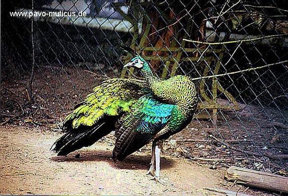 Henne von Pavo muticus muticus beim Putzen des Gefieders.