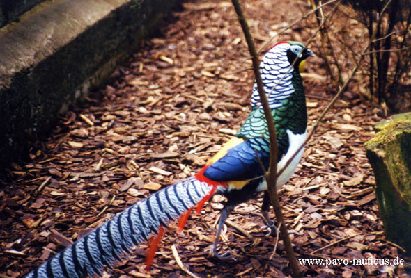 Cock Lady Amherst pheasant.