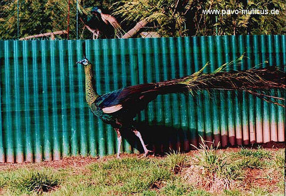 Cock of indochinese green peafowl.