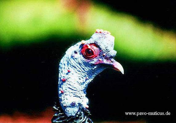 Kopfportrait des Hahnes in Balzstimmung. Die blaue Erhebung auf dem Kopf  bläst der Hahn in Vollbalz zu einer enormen Größe, die fast noch einmal  das Volumen des Kopfes erreicht, auf.