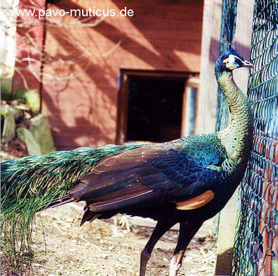 Burmese green peafowl frontal view. The hight of this species is like imperator`s.