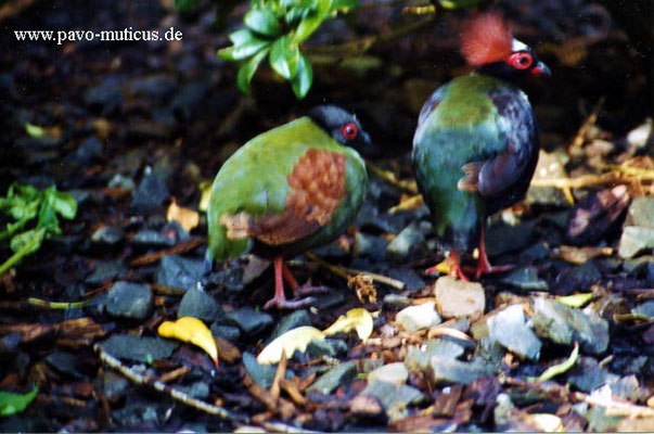 Pair of Crested Wood Partridges.