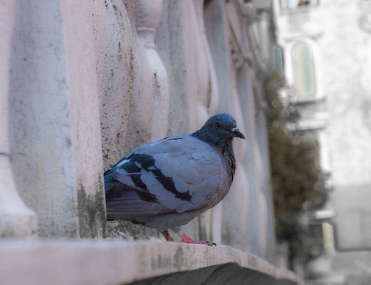 One of the countless pigeons
