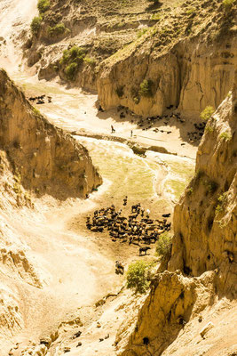 Cow herd in a rugged valley