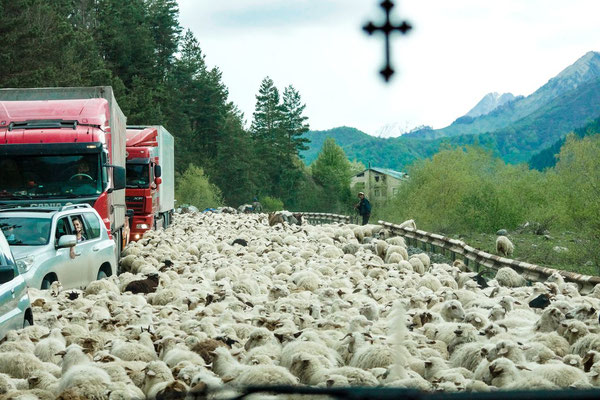... it is not uncommon to encounter a herd of sheep ...