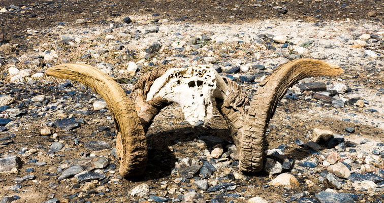Skeleton from a Marco Polo sheep