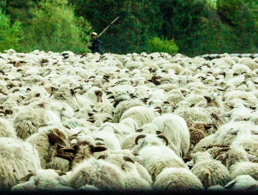 ... with thousands of sheep