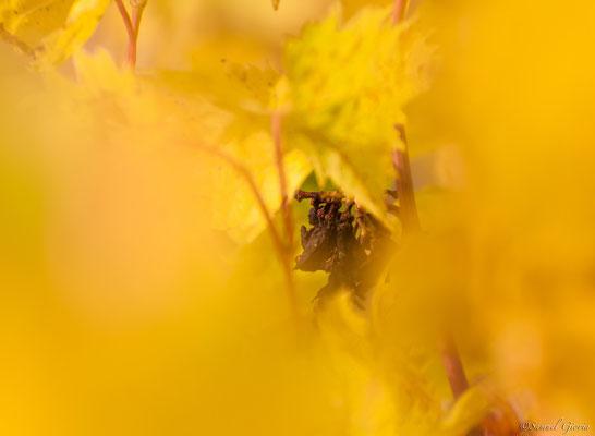 L'automne et la vigne