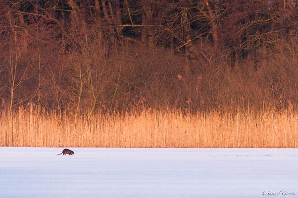 Sur la glace...Rat gondin