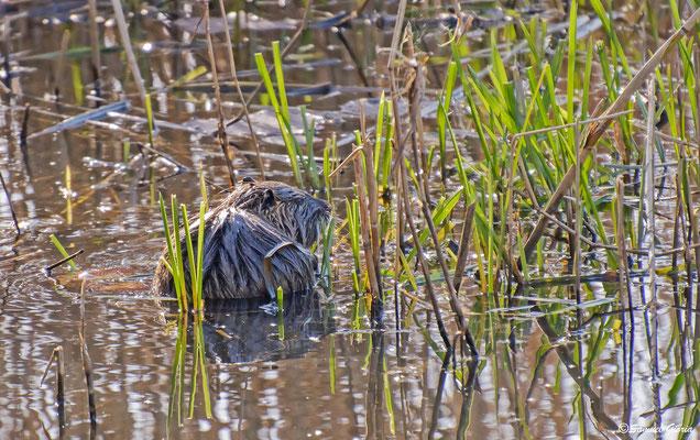Le lièvre des marais (rat gondin)