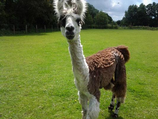 Lamas an der Nordseeküste Urlaub bei Lamas und Alpakas