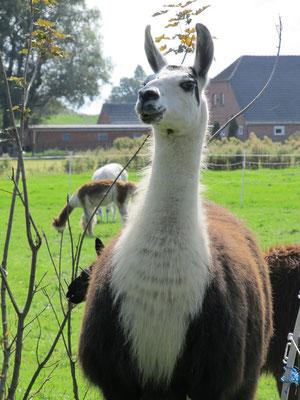 Wangerland Ferienwohnung Bauernhof Lamas Alpakas Urlaub mit Hund