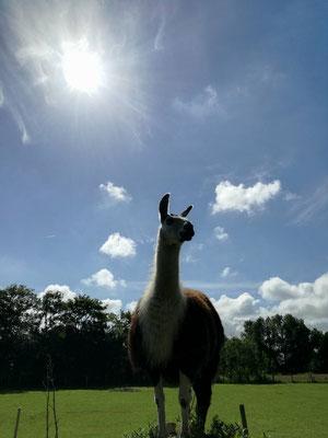 Lamahof am Sommerdeich Hundeurlaub an der Nordseeküste Ferienwohnung Bauernhof