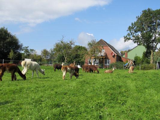 Ferienwohnung Wangerland Bauernhof Nordseeküste Hunde erlaubt Lamahof am Sommerdeich