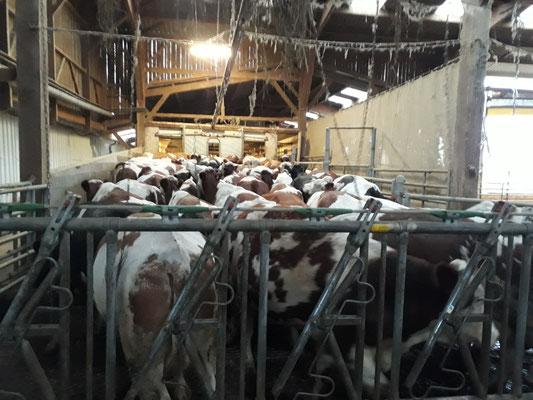 Les vaches font la queue pour la traite. Elles ont hâte.