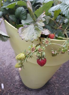 À la ferme on trouve également quelques fruits et légumes même dans les endroits les plus insolites.