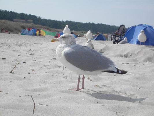 Möwen am Strand in Prerow