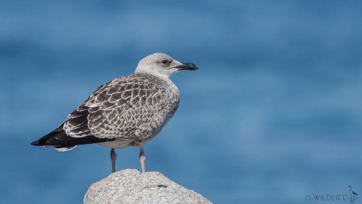 Mittelmeermöwe (Jungvogel), Korsika (F), 07/2016