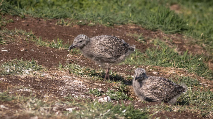 vermutlich junge Heringsmöwen, Isle of May