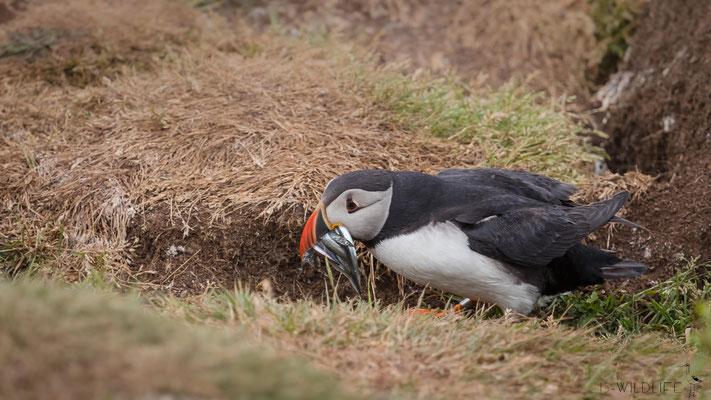 Papageientaucher, Schottland (Treshnish Isles), 07/2018