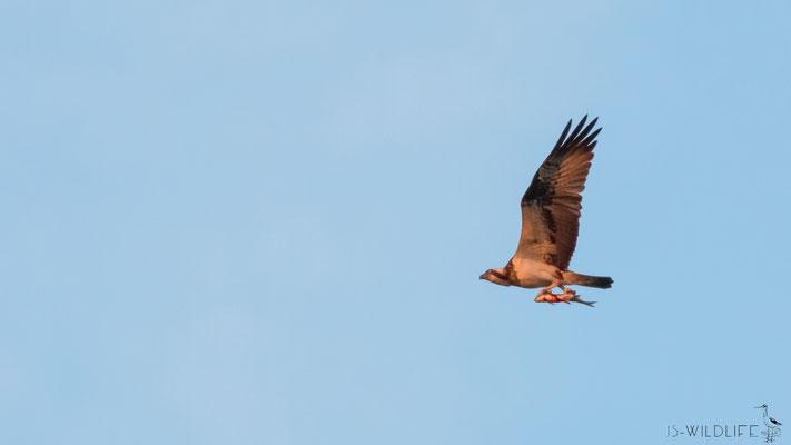 Fischadler, Steinhuder Meer, 05/2014