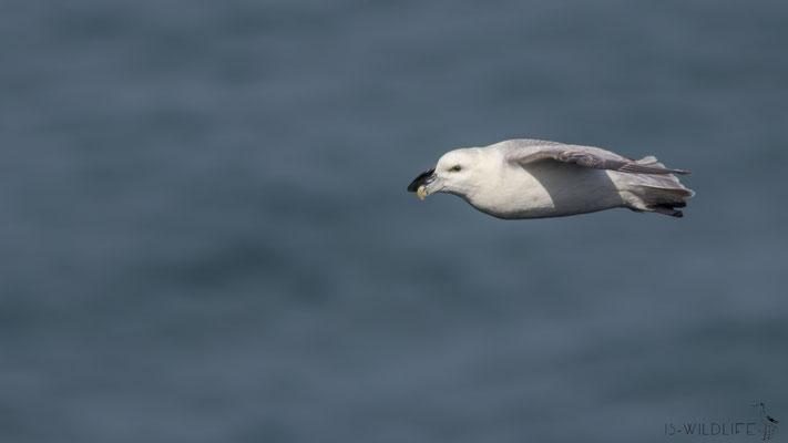 Eissturmvogel, Isle of Skye