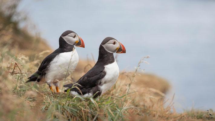 Papageientaucher, Treshnish Isles