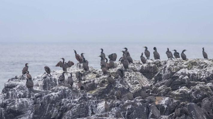 Krähenscharben, Treshnish Isles