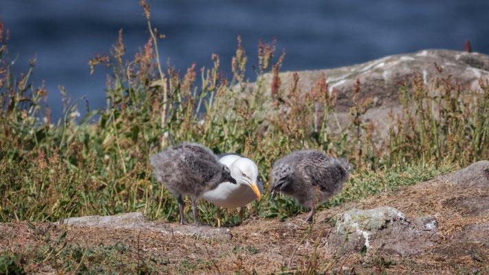 Heringsmöwe mit Jungvögeln, Isle of May
