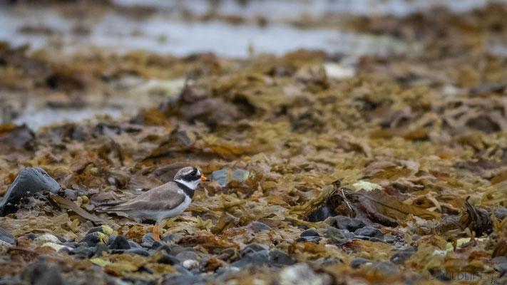 Sandregenpfeifer, Isle of Mull