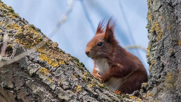 Eichhörnchen, Koldinger Seen, 04/2015