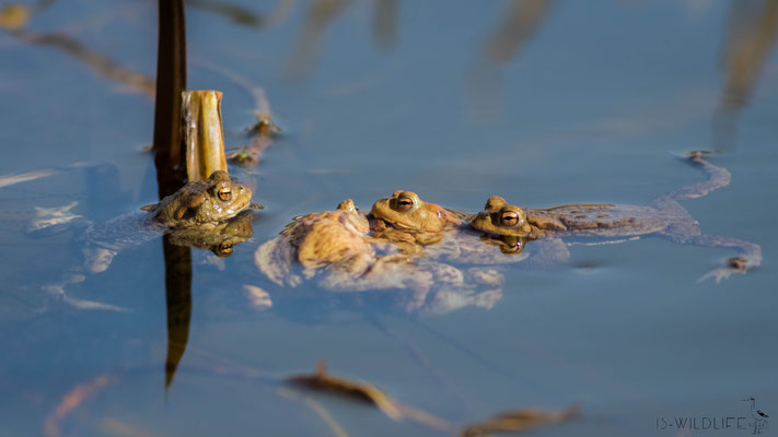 Erdkröten (Paarung), Hannover, 04/2018