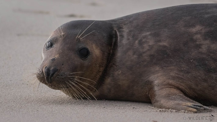 Seehund, Helgoland/Düne, 02/2018