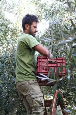 Pangaea Olivenöl aus Griechenland –traditionelle Olivenernte per Hand