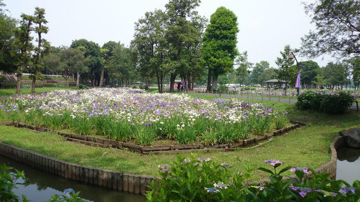隣接する、都立・水元公園の花菖蒲