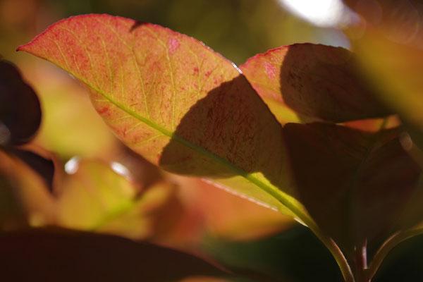 les jeunes feuilles du printemps