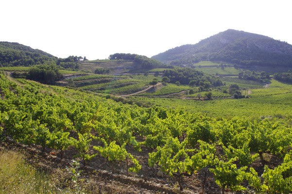 vineyards in le Baroux