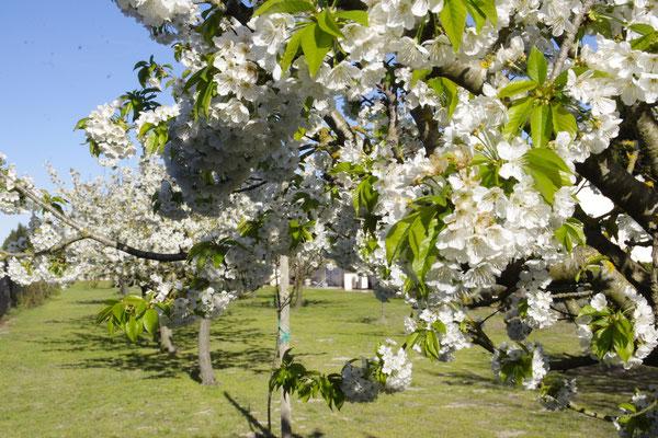 Des fleurs, des abeilles, c'est le printemps en Provence