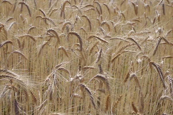 Weizen Felder