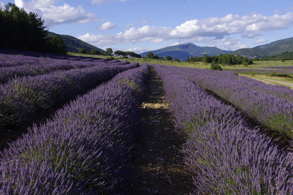 Lavender fields in Sault