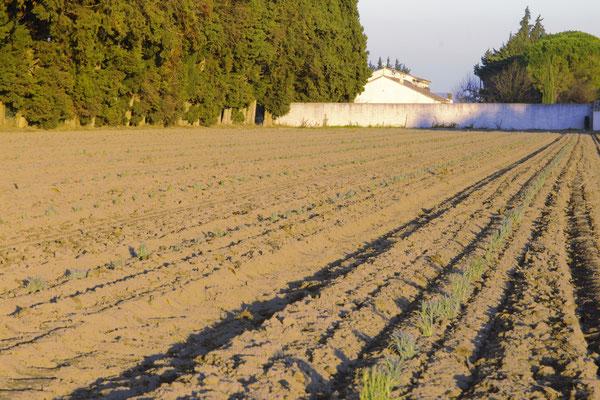 Le champs de lavande devant le clos des sorgues