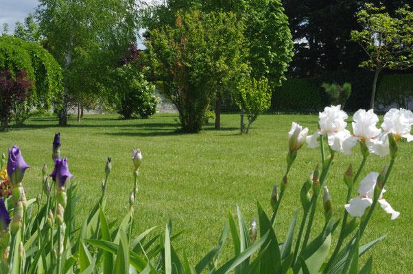les iris en fleur