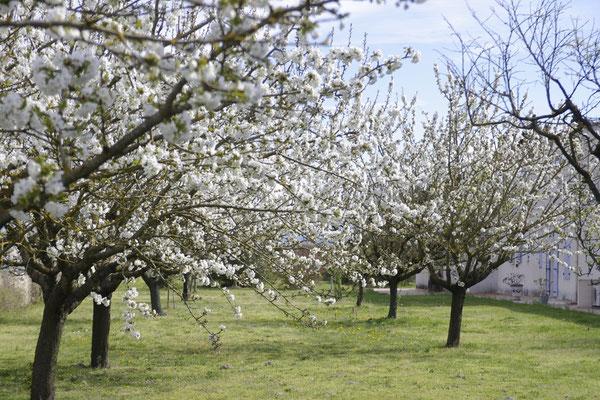 Cerisiers en fleur au clos des Sorgues