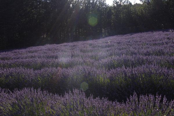 Lavendel Felder