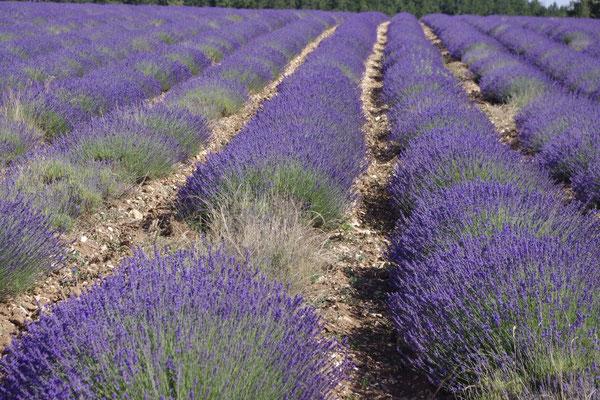 Die Lavendel in Sault