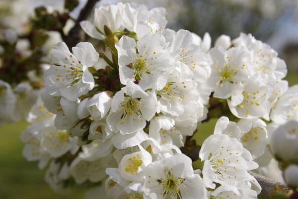 Cerisiers en fleur , le clos des Sorgues entre Avignon et l'Isle-sur-la-Sorgue