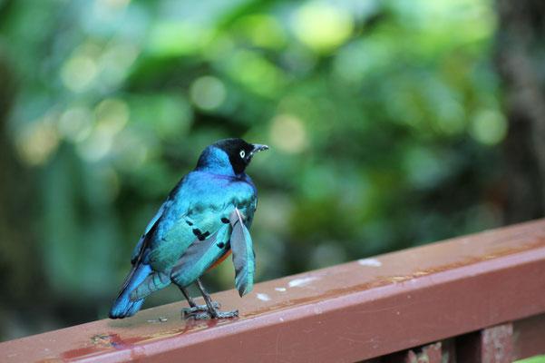 Oiseau de Singapour