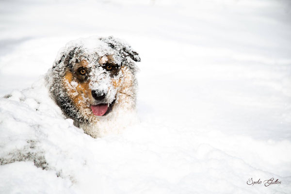 Chien berger australien dans la neige